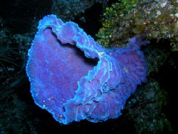 Vase Sponge, Roatan, Honduras. Olympus 5060 by Marc Burton 